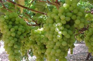 زراعة العنب في الاراضى الصحراوية