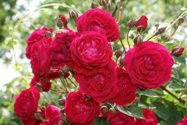 زراعة الورد البلدي