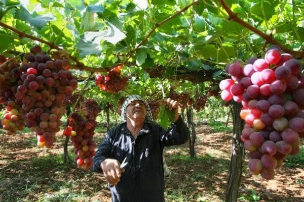 كيفية زراعة العنب بالعقل