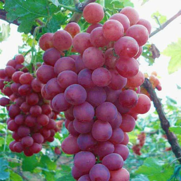 زراعة العنب من البذور
