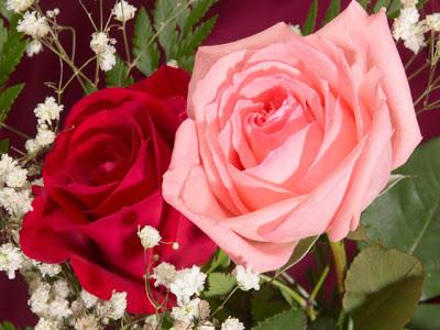 زراعة الورد الجوري بالعقل